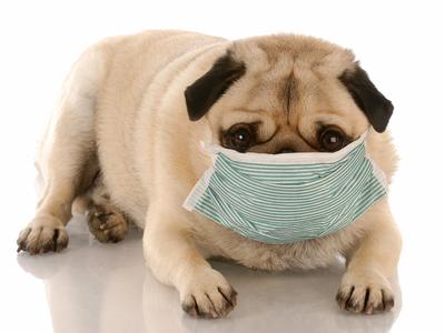 У собаки аллергия - как проявляется, что делать, лекарства и лечение